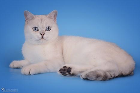 British Shorthair Blue Point 81021 Nama Untuk Kucing Comel Lucu Dan Unik
